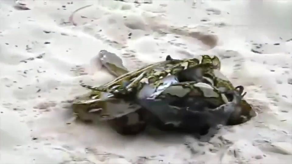 大自然:一只小蟒蛇绞死了一只大动物,真是天生的杀手