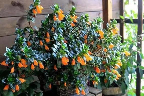 此种盆栽,花叶俱美,一年开花300多天,上面爬满小金鱼