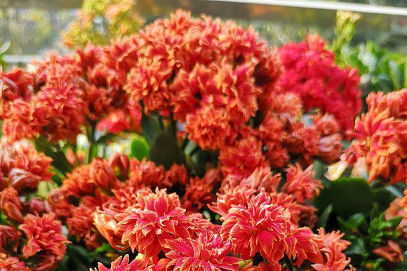 开花最厉害的盆栽花,一次开花500朵,一开就是大半年,值得拥有