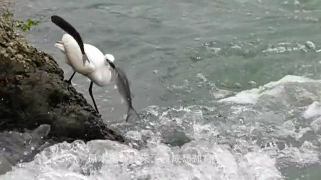 """""""翻车现场""""鹈鹕河道抓鱼,谁料鱼儿当即一棒,直接给打懵了!"""