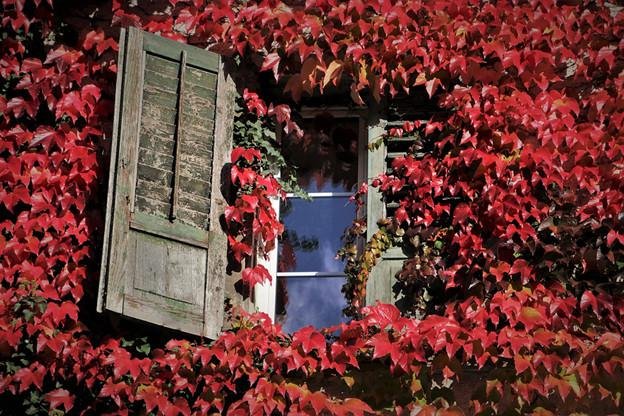 当爬山虎爬上墙,秋冬成最美的房子!