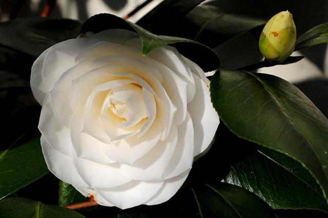 盘点白茶花的三大品种,纯白剔透!