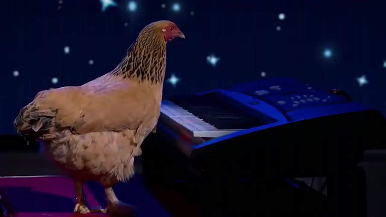 一只会弹钢琴的鸡,太有意思了