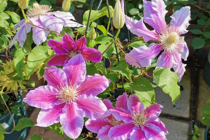 适合大盆养的花,盆大根系旺,植株长势强,花量自然多