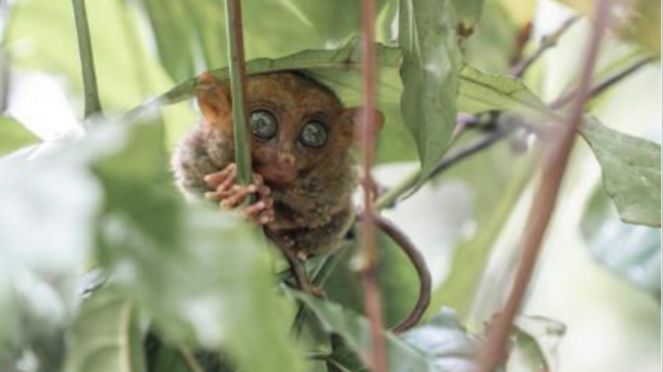 它是世界上最小的猴子,却因外表丑陋,被当做外星生物
