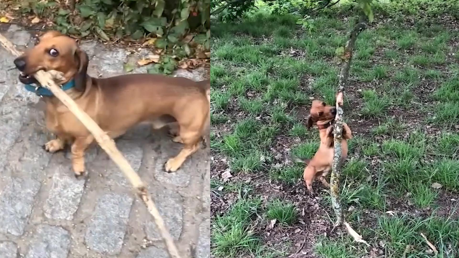 小腊肠犬迷上大树枝,叼2米长树枝逛公园,过路墩时被卡路人笑喷