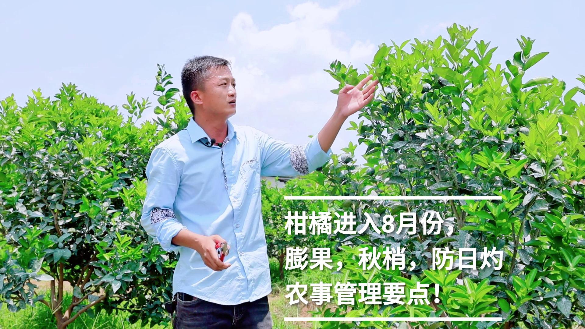 柑橘进入8月份,膨果、秋梢以及防日灼病虫害,应该如何管理?