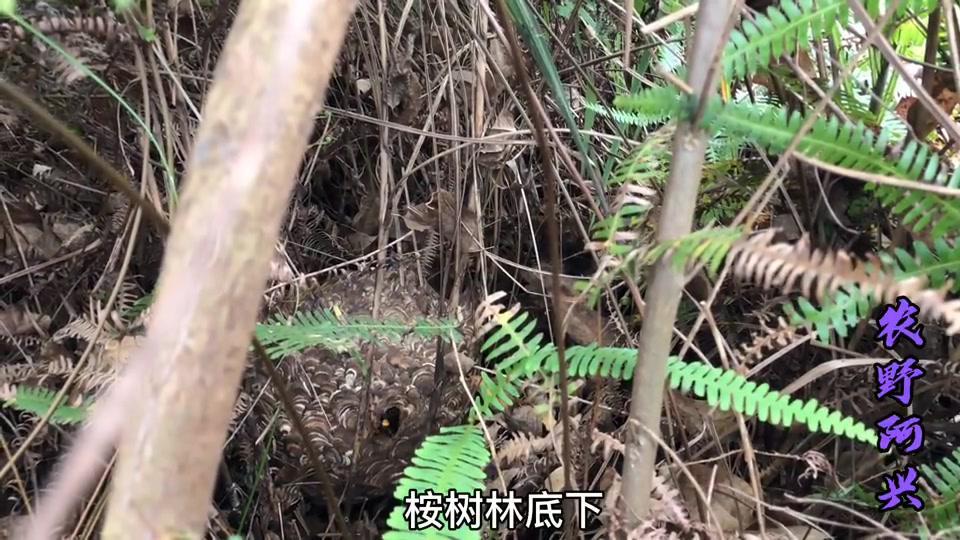 有人对这玩意感兴趣吗?位置广西陆川,妨碍到给桉树除草被我捉了