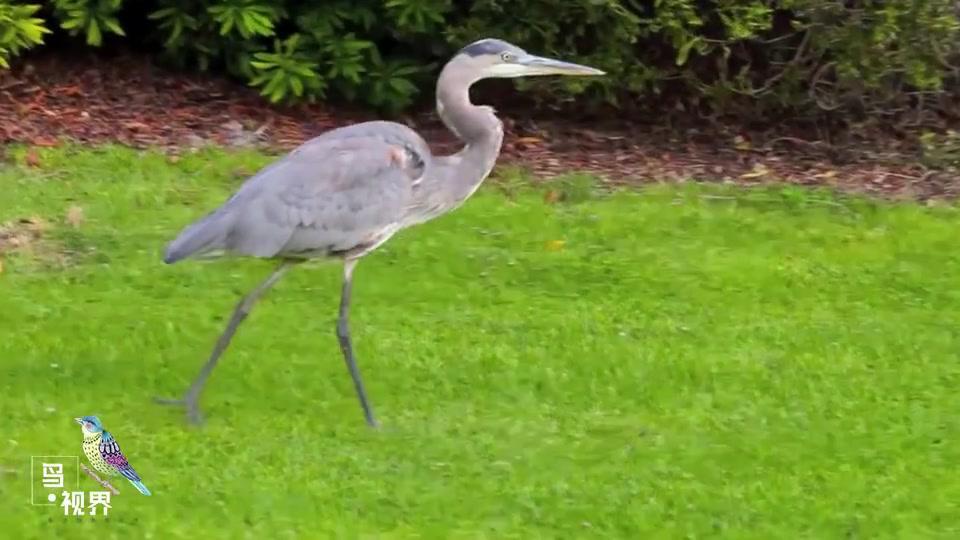 一头栽进草地的灰鹭,差点拔不出来,看到原因后让人赞叹