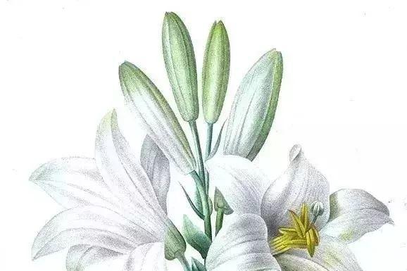 他一辈子专注一件事,绘画世间各种花卉,被誉为花之拉斐尔