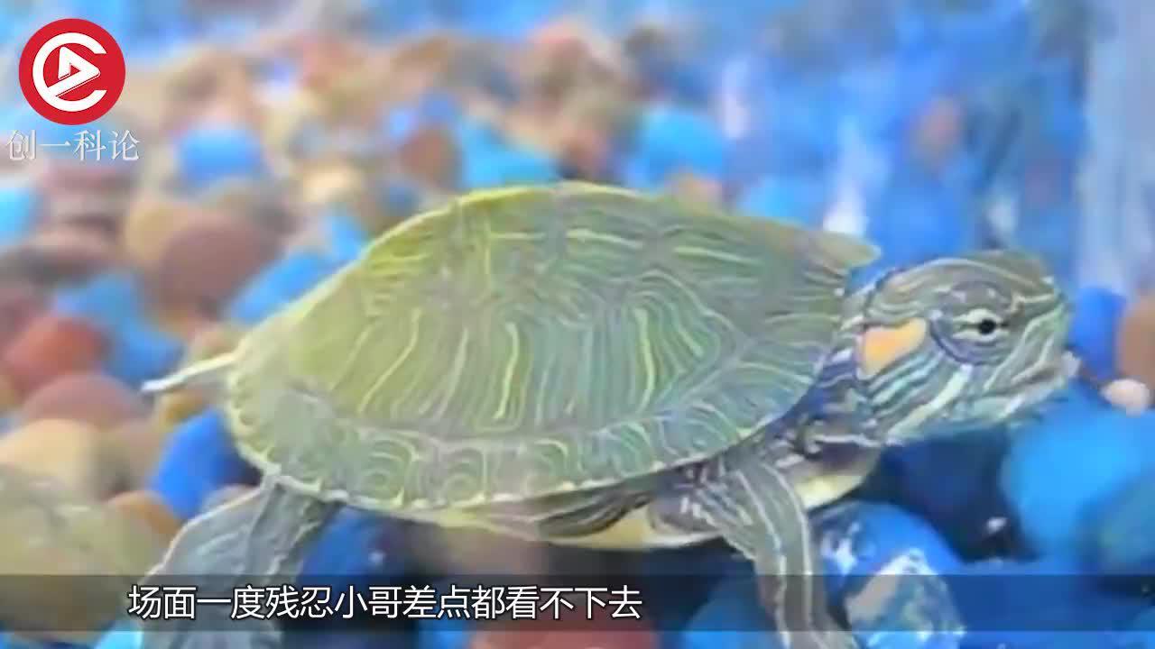 小伙饿了巴西龟一个月放进去一只大螃蟹场面惨不忍睹