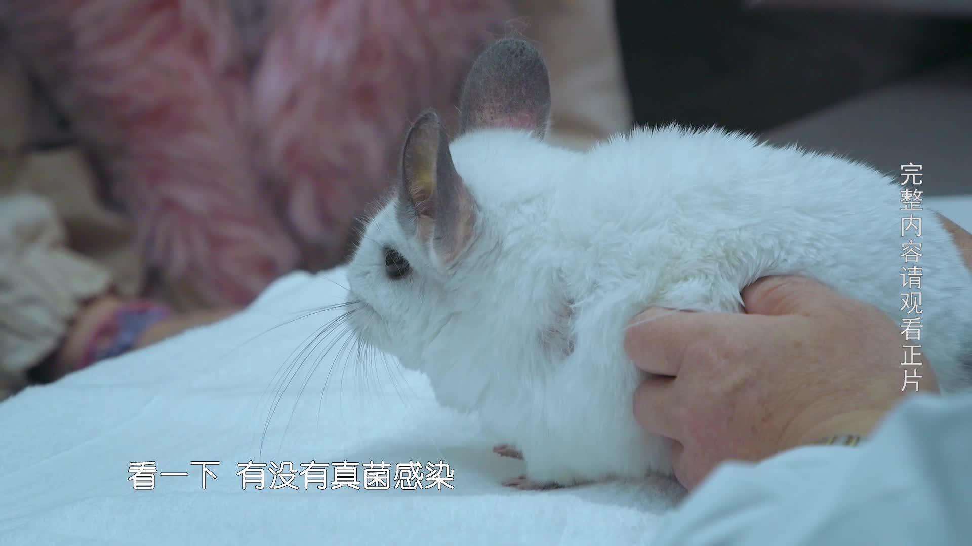 【小主安康-宠物医院2】龙猫意外掉毛