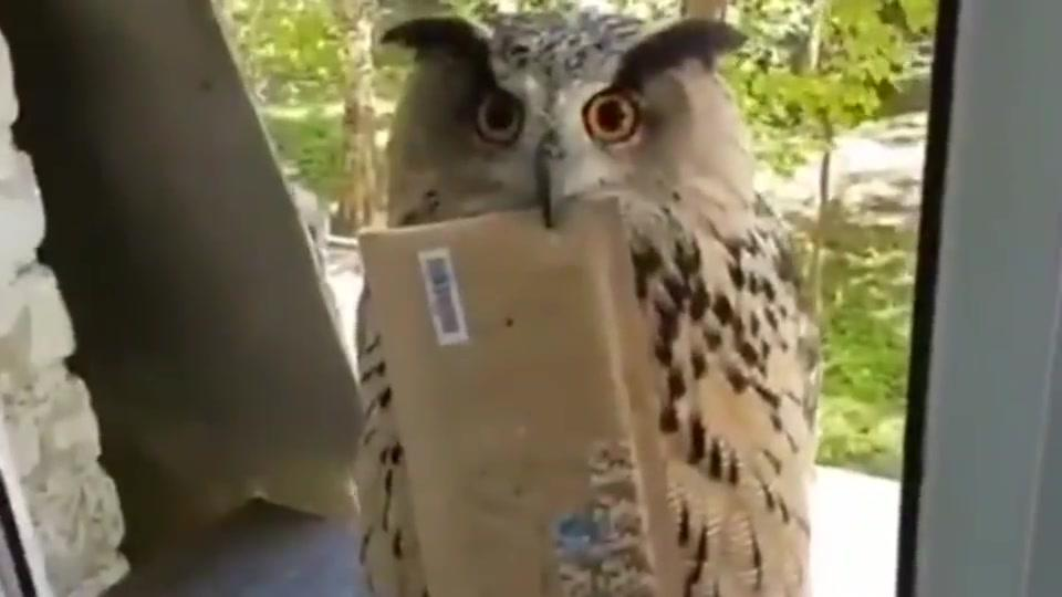 俄罗斯一只猫头鹰站在窗外等送信,网友:霍格沃茨录取通知书?