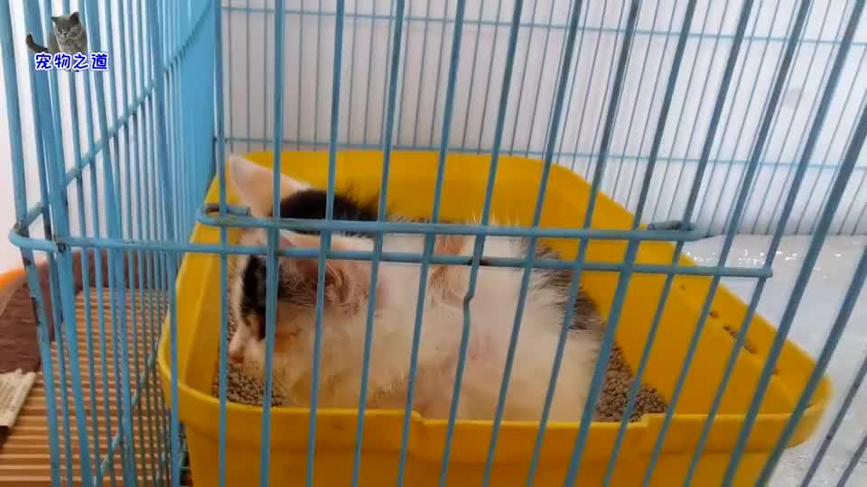 小流浪猫在猫笼里隔离,瘦小的样子让人心疼,烟熏嗓音太有特点了