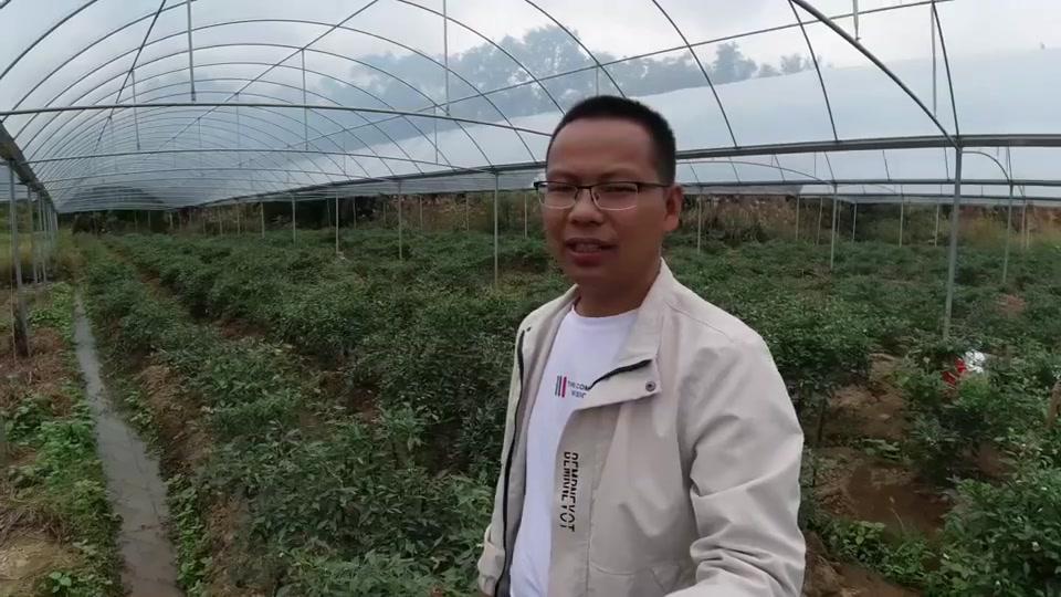 70后大叔种下3亩辣椒,摘一次进账1万2,半年可摘5次,收入6万元