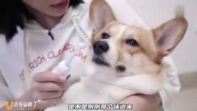 用电动牙刷帮狗刷牙,竟然把狗子的牙结石给刷掉了!