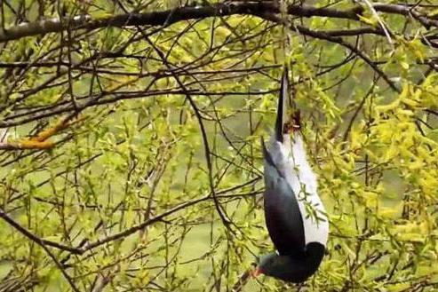 """听说过会""""酗酒""""的鸟吗?它喝醉后躺在地上任人捡,心真大!"""