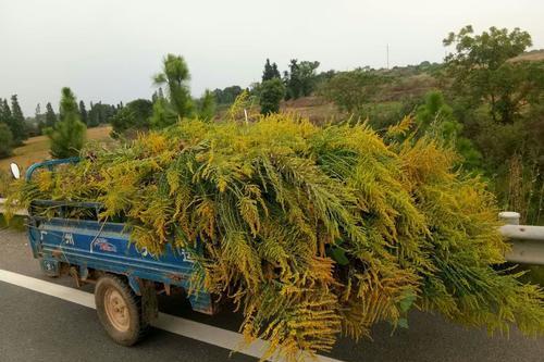 """入侵中国的""""带毒麦草"""",在安徽和浙江发现,却可能可以治理沙漠"""