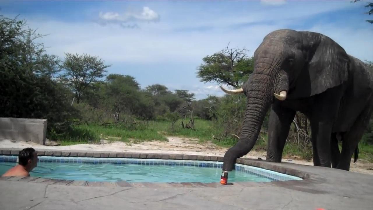 夫妻俩在泳池泡澡,突然一头大象闯了进来,伸出鼻子喝起了水