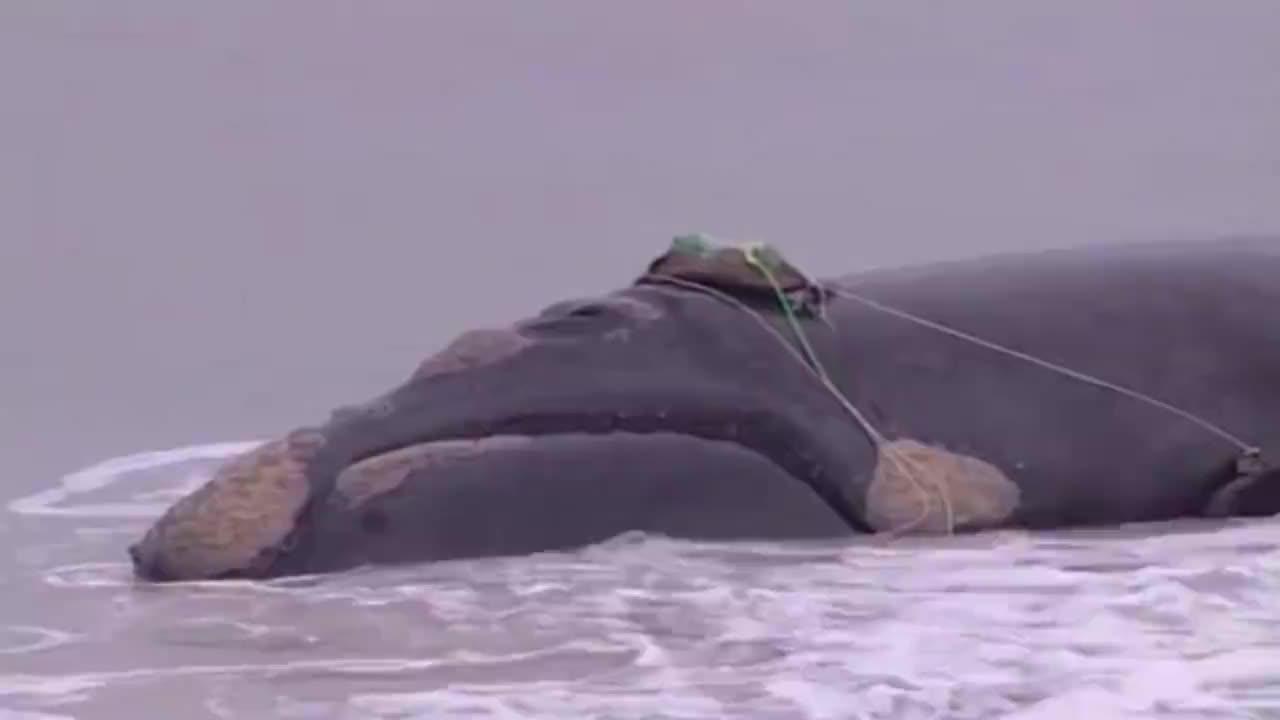 鲸鱼搁浅无法回到大海,怎料下一秒众人的做法,让人愤怒!