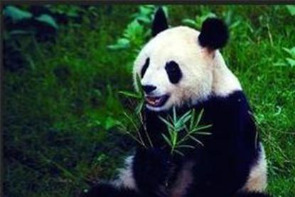 他是中国第一个杀大熊猫的人,得70斤肉4只熊掌,最后他怎样了?