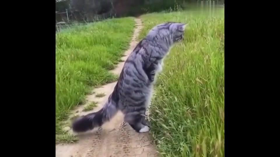 这只来自西伯利亚猫在俄罗斯成网红了