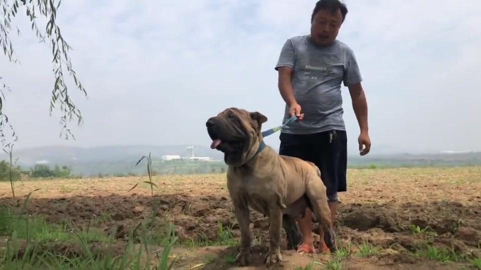 这种犬是世界名种斗犬,体型独特,头似河马,嘴似瓦筒,来欣赏下