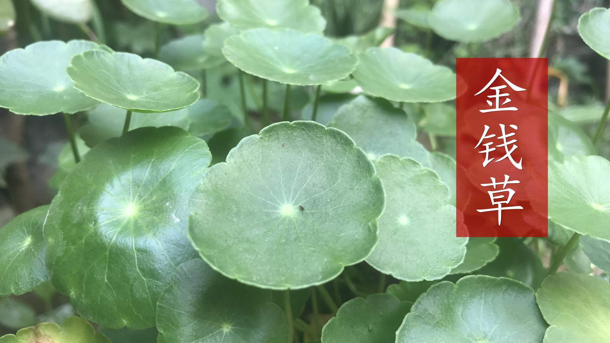 植物金钱草,叶片酷似铜钱,用于预防结石和利胆排石,你认识吗