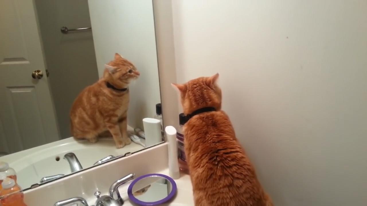 千万不要让猫主子照镜子,不然场面无法控制,镜头记录搞笑全过程