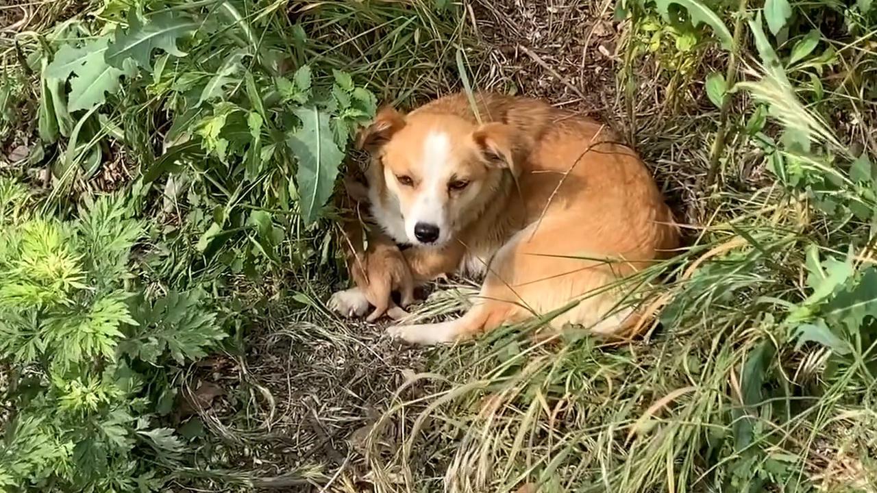 草丛中等待被救的狗狗一家人,被救后狗妈妈很感激,镜头记录全程