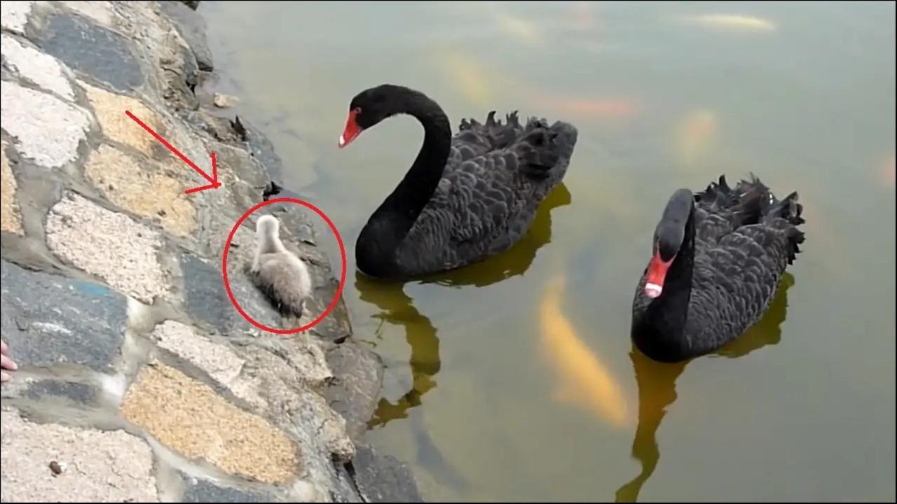 黑天鹅宝宝不敢下水游泳,可急坏了爸妈,好心人出手相助