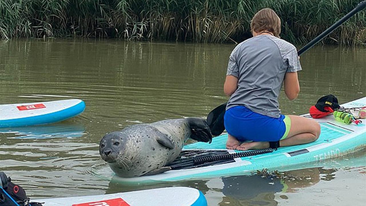 """冲浪者们正在河中游玩 好奇海豹竟爬上桨板""""搭便车"""""""