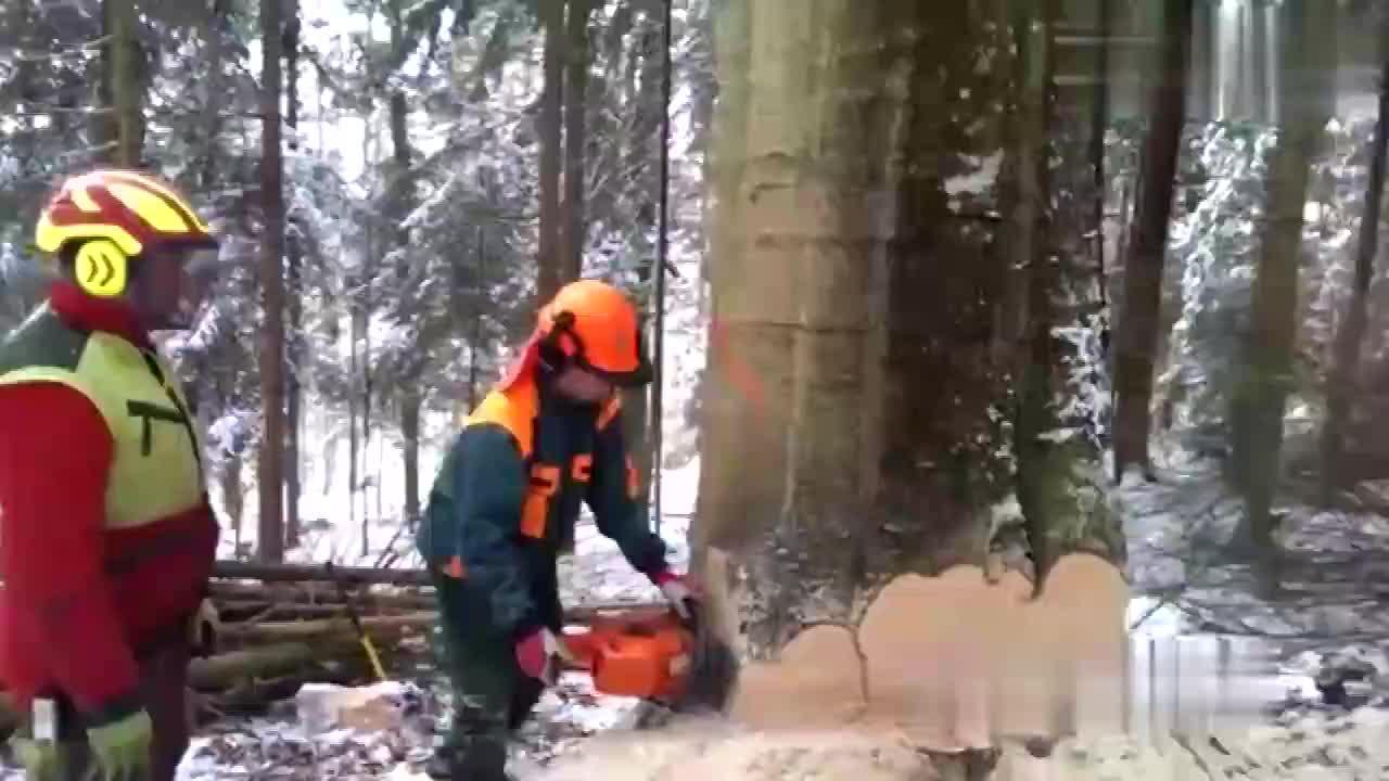 实拍日本专业伐木工砍树,不过这样的砍伐方式还是第一次见!
