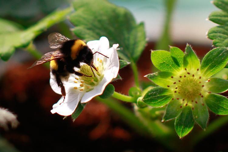 提高草莓品质,减少畸形果,授粉熊蜂应该这样管理!