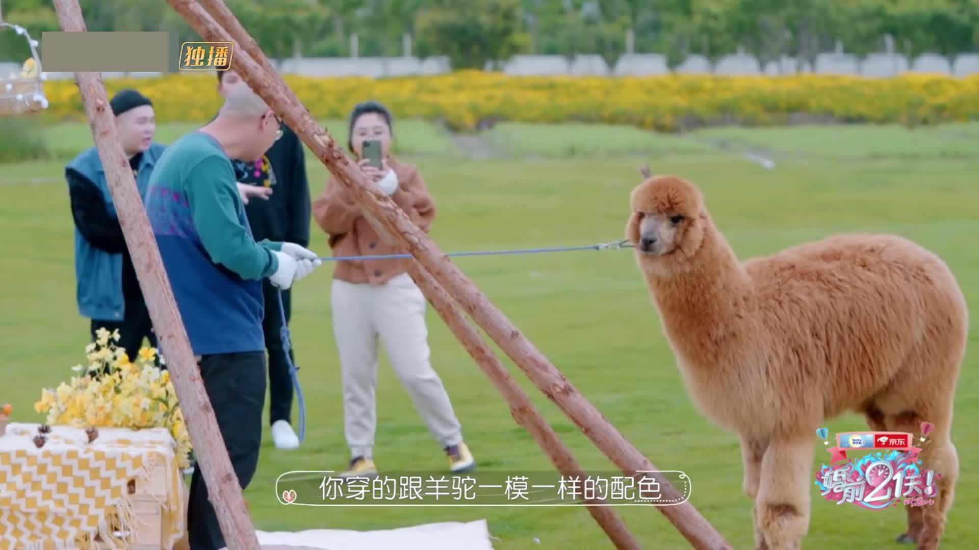 真人秀:傅首尔与羊驼穿情侣装求合影 遭羊驼乌龙逃跑满场抓