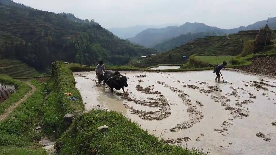贵州大山里的原生态生活,这种传统的牛犁田耕种,你见过吗