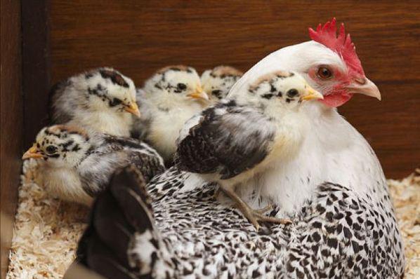 揭秘69年生肖鸡的毕生寿命,过了51岁后什么命,看看你家有吗?