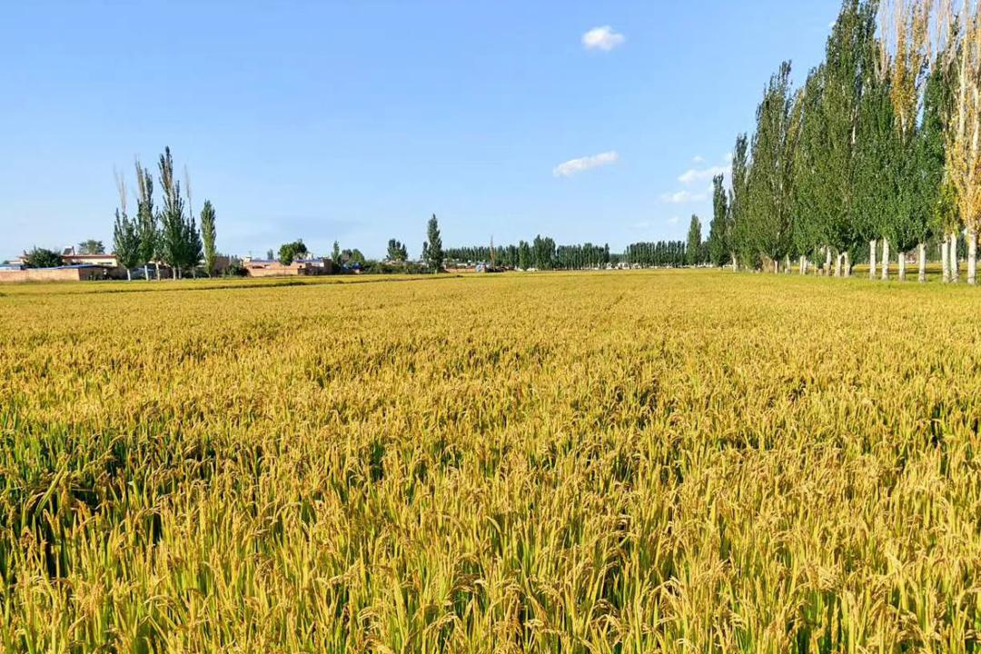 玉米缺口2800万吨,小麦或跌到1.12元,水稻库存充足,市场咋回事