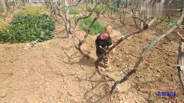 宝爸领着姐弟俩在葡萄园里玩,葡萄树都发芽了,不要碰掉葡萄芽了