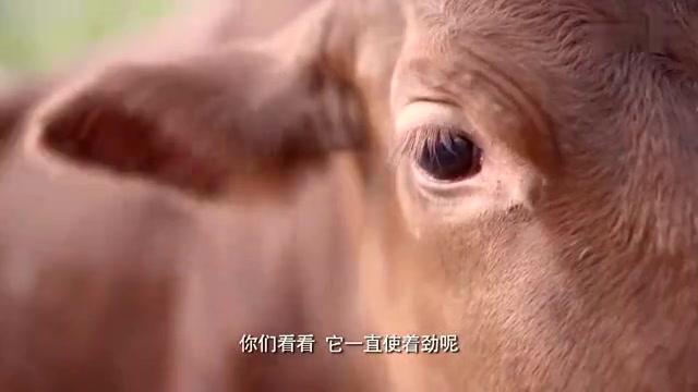 老农民:好黄牛不松劲,拉不走啊
