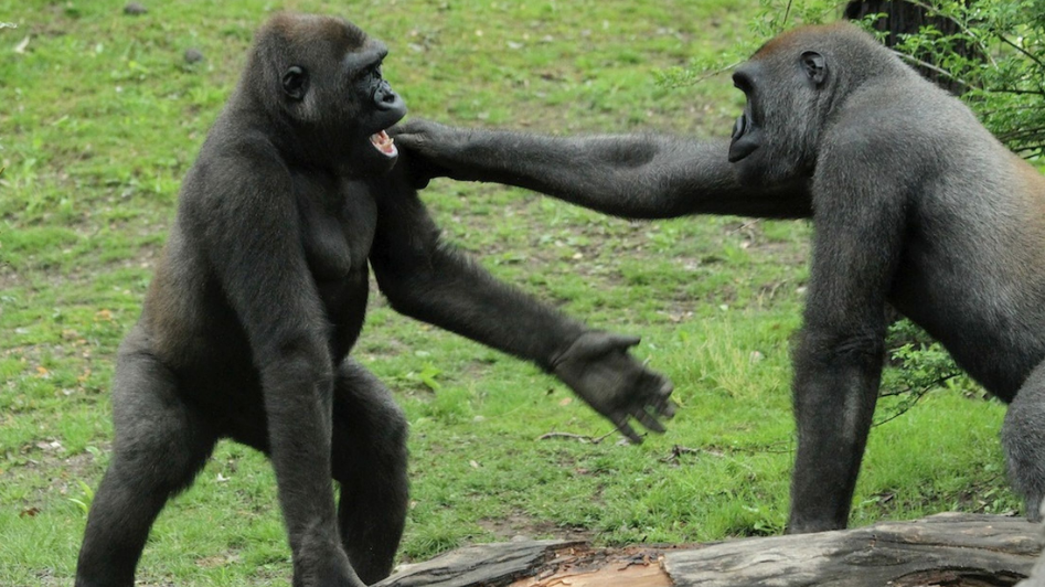"""人与猩猩基因相似度99%,因拥有""""聪明基因"""",最终成为地球霸主"""