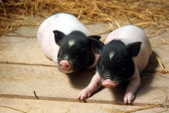 生肖猪:12月会与自己的贵人相遇,后半生的财运就靠他们了!