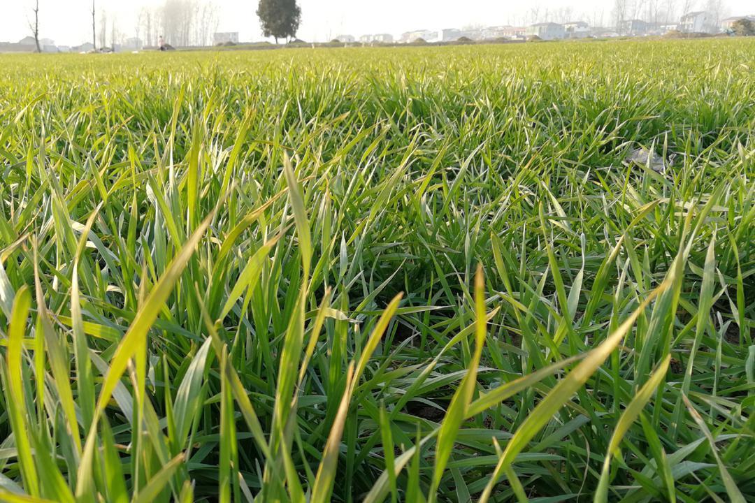 小麦返青期追肥,30斤尿素和80斤复合肥,选择哪种产量高?