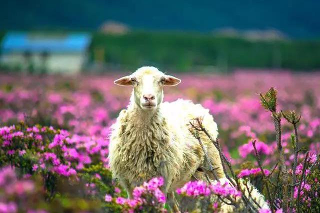 蓝天白云羊群花海,还有美丽的传说:香格里拉小中甸 约吗?