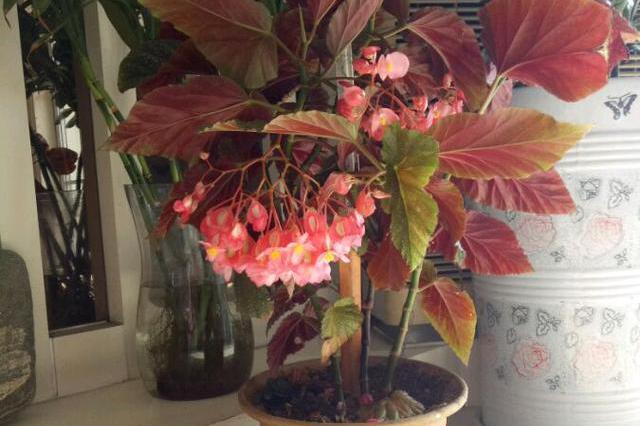 竹节秋海棠,优秀的室内盆栽绿植,如绿萝般好养,一年四季都开花