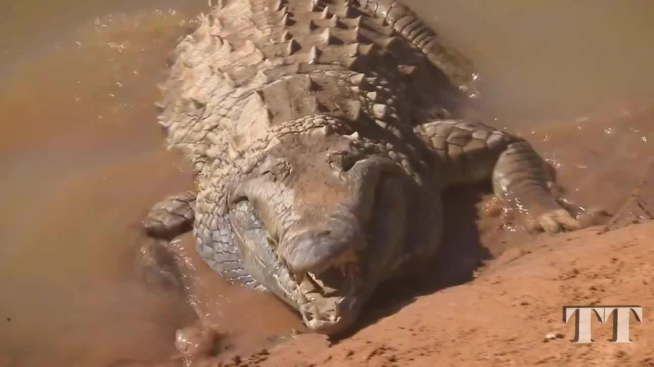 动物研究员赤手空拳与鳄鱼接触!趴在冷血巨鳄背上,玩的就是心跳