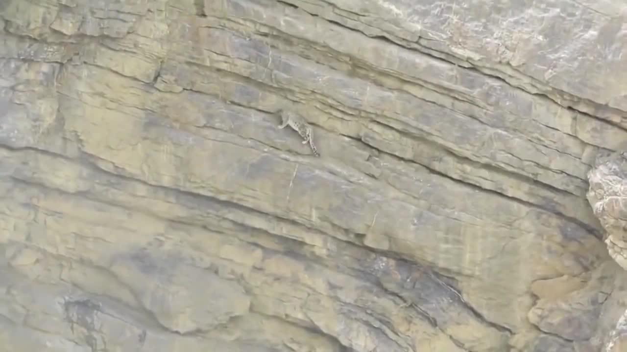 雪豹捕食被困50米绝命悬崖,绝望的它坠落崖底,镜头拍下全过程