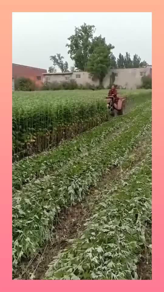 大叔承包了一百亩的地,种下了艾草,不到五年为了儿子买了...