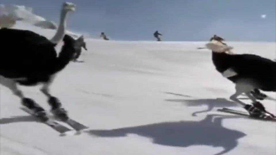 鸵鸟都这么会滑雪了,这让我们这些没有见过雪的南方人情何以堪!