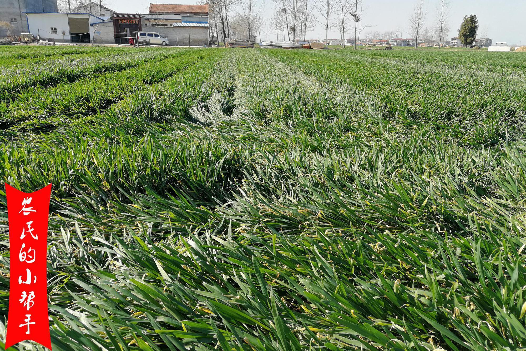 小麦进入拔节期,被车压过后,还能抽穗吗?一因素很关键